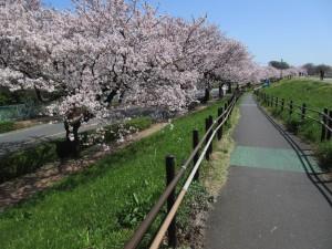 多摩川土手沿いの桜 Photo by ホットカフェオレ